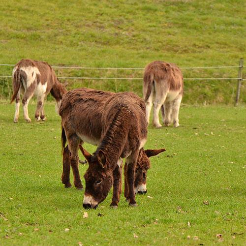 Algemene informatie over ezels
