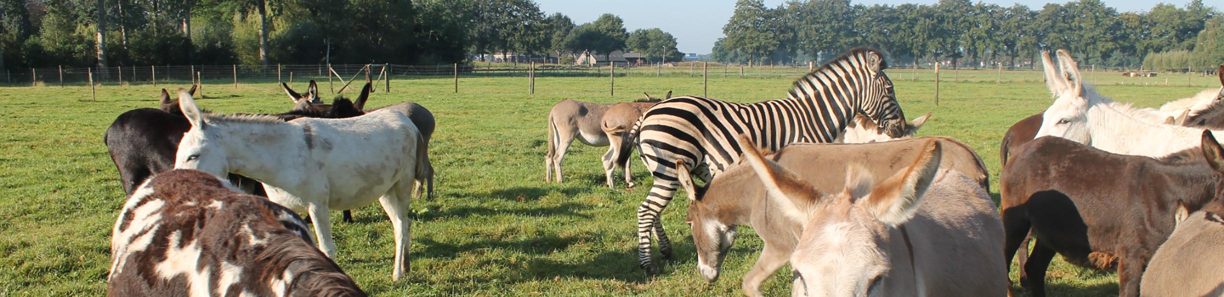 http://www.ezels.nl/uploads/images/header/groep-ezels-zebra.png